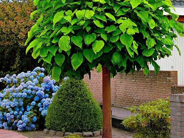 Катальпа с шарообразной кроной в саду