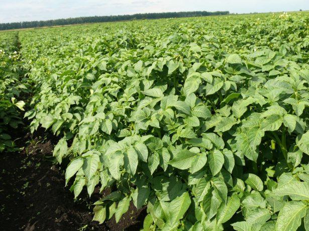 Третье окучивание картофеля