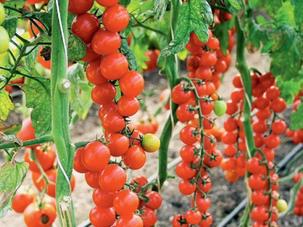 Цветочная кисть помидора