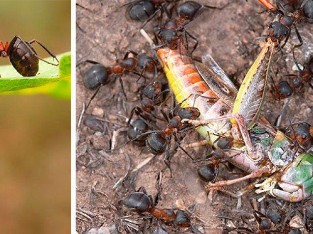 Коллаж — муравьи уничтожают вредителей