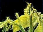 Отмирание черешков молодых листьев