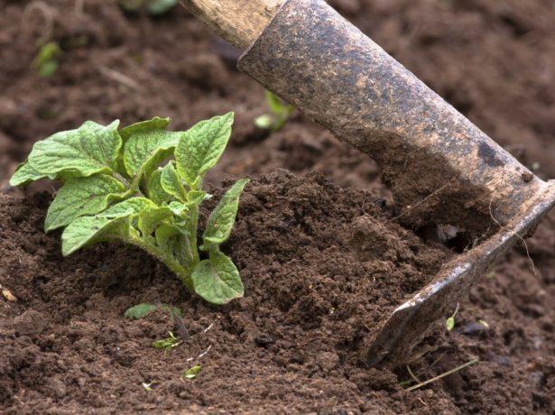 Обработка картошки окучиванием