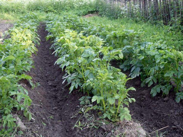 Окученные кусты картофеля