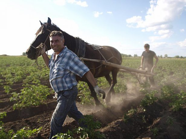 Окучивание картофеля с помощью одной лошадиной силы