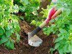 Окучивание картошки: когда, зачем и как правильно
