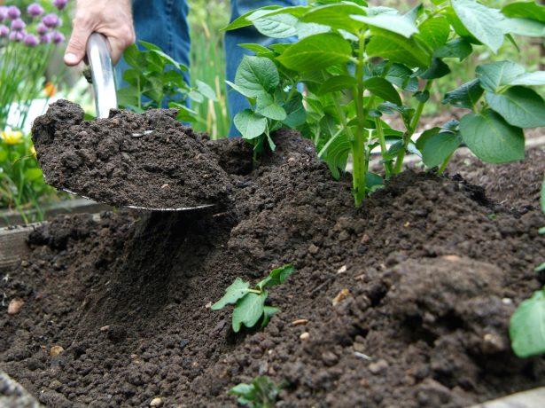 Окучивание куста картошки