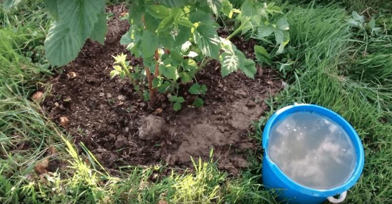 Чем подкормить малину во время цветения и роста ягод