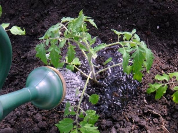 Полив томата под корень