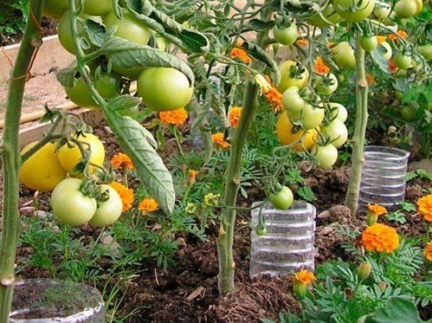 Полив томатов с помощью пластиковых бутылок