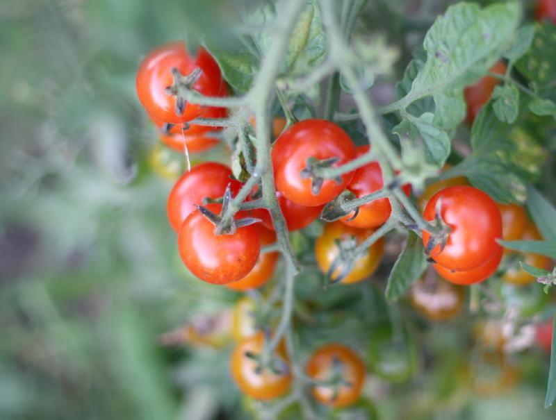 Растрескивание помидоров: основные причины и способы их устранения