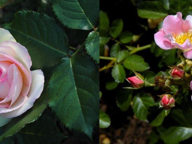 Роза садовая и дикий шиповник