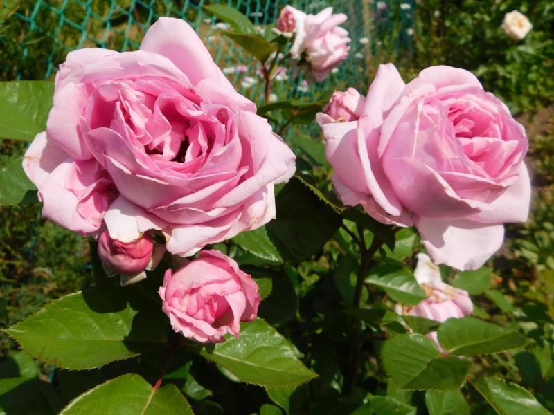 Первая помощь: когда роза превращается в шиповник
