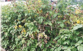 Почему сохнет куст малины с ягодами