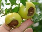 Сухие пятна на плодах томатов