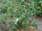 Уход за томатами в июле: как получить богатый урожай