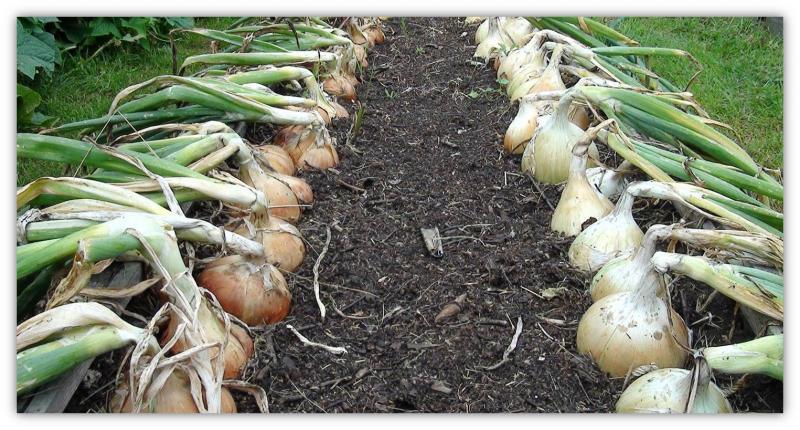 Чем подкормить лук, чтобы он вырос крупным