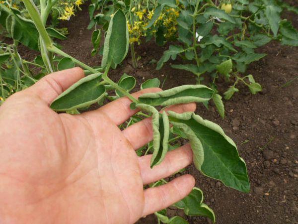 Листья томатов при борном голодании