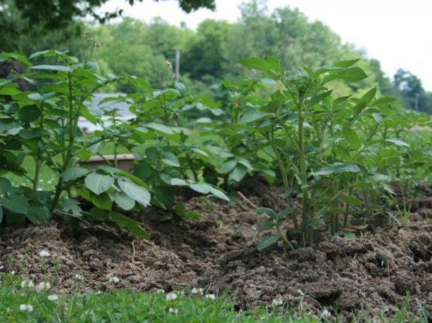 Второе окучивание картофеля