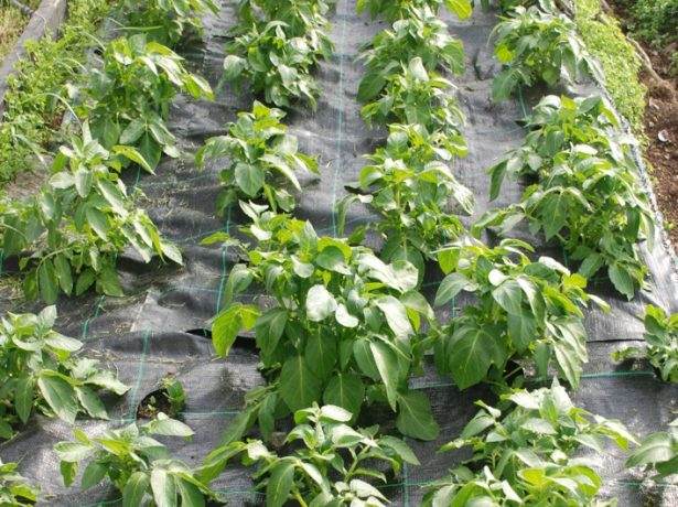 Выращивание картошки под плёнкой