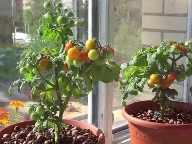 выращивание томатов в домашних условиях