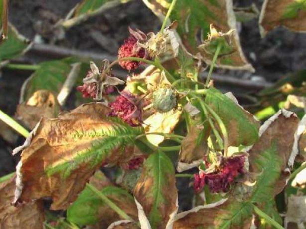 Засыхают побеги малины с ягодами