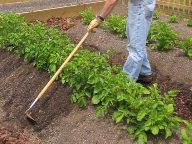 Окучивание картофельных грядок