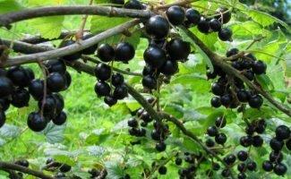 Чтобы продлить срок плодоношения чёрной смородины, проведите процедуру омоложения