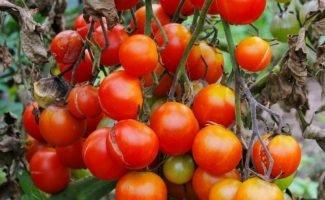 Соль от фитофторы томатов: дешёвое, но эффективное средство