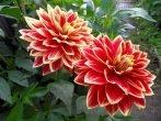 Не цветут георгины: что делать и как этого избежать