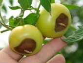Гниение помидоров на кустах