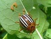 колорадский жук и его личинки