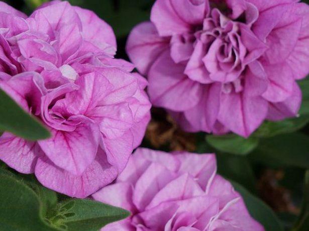 Цветки махровой петунии
