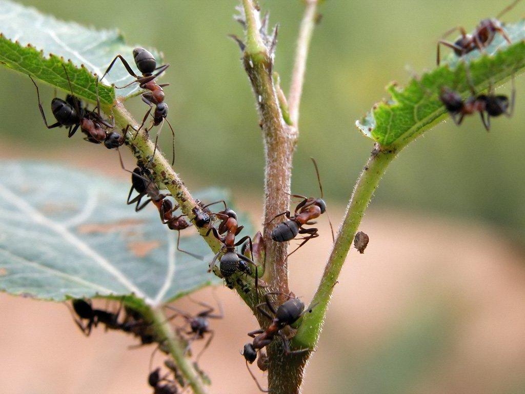 Нашатырный спирт в борьбе с муравьями на земельном участке