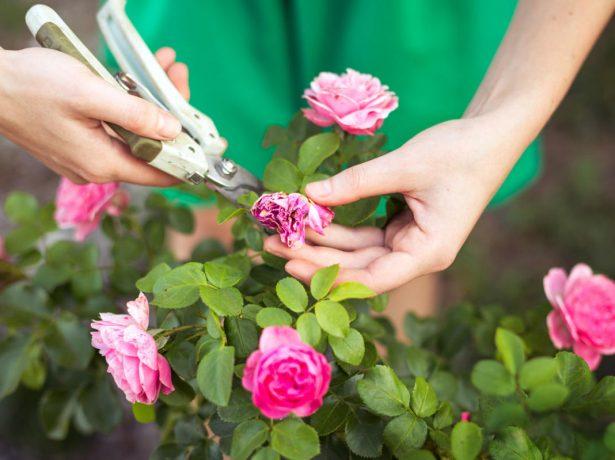 Обрезка отцветших бутонов роз