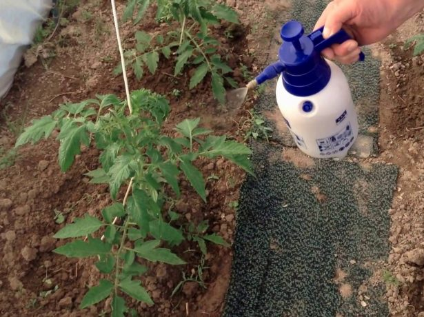 Опрыскивание томатов солевым раствором