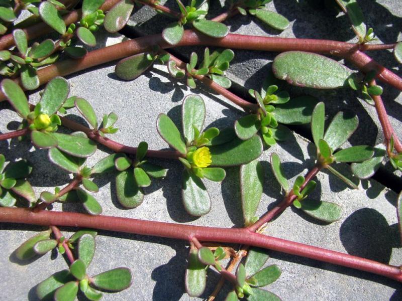Портулак: как избавиться от ползучего сорняка в огороде