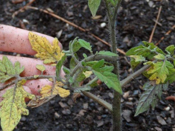 Рассада помидоров с жёлтыми листьями