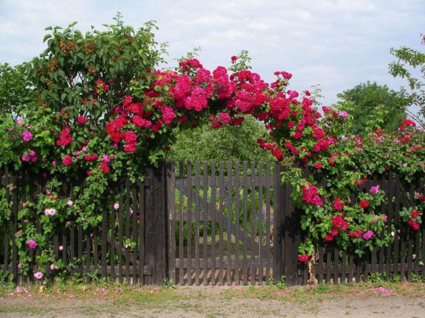 Роза на арке