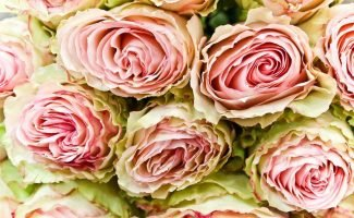 Как побудить розу зацвести