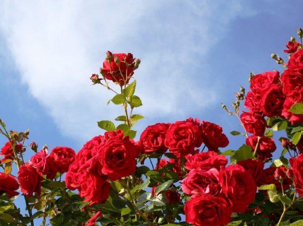Розы на фоне неба
