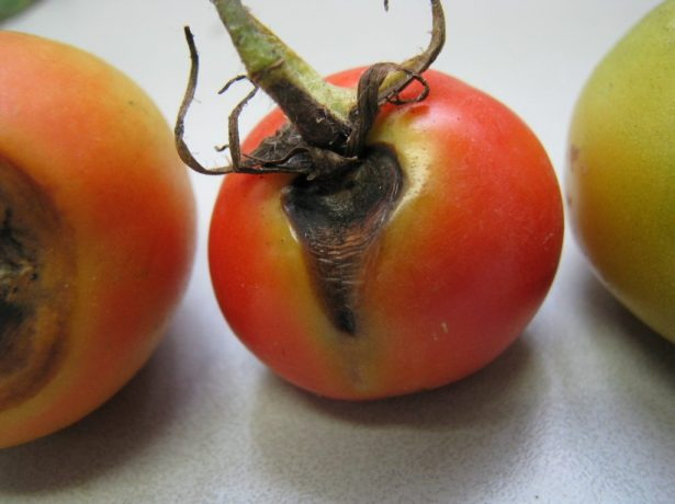 Альтернариоз томатов