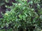 О чём расскажут скрученные листья помидоров