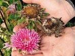 Семена астр со своей клумбы: как правильно ими запастись
