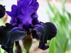 Что делать с ирисами после цветения, чтобы растение не погибло зимой