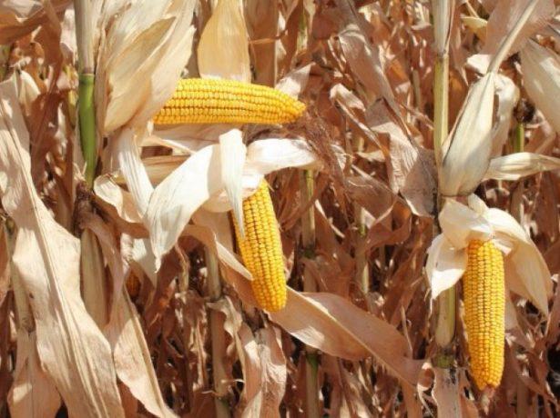 Кукуруза на стадии биологической зрелости