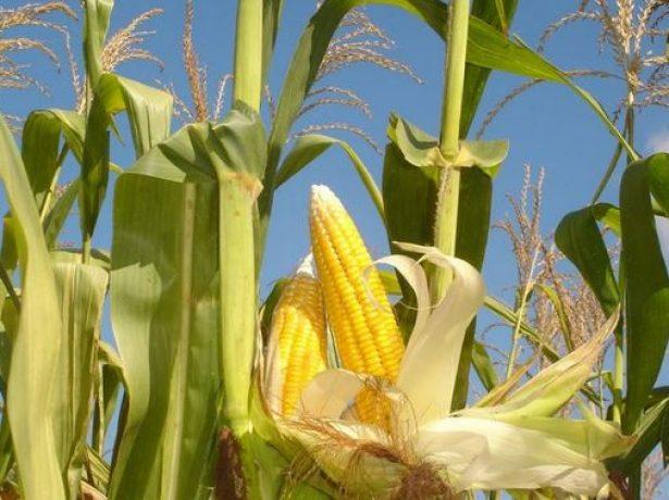 Кукуруза на стадии восковой зрелости