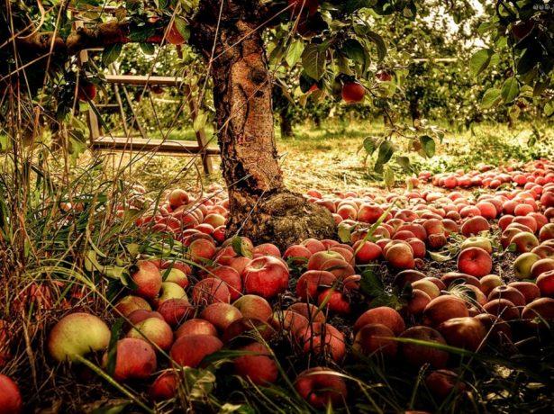 Опавшие яблоки под яблоней