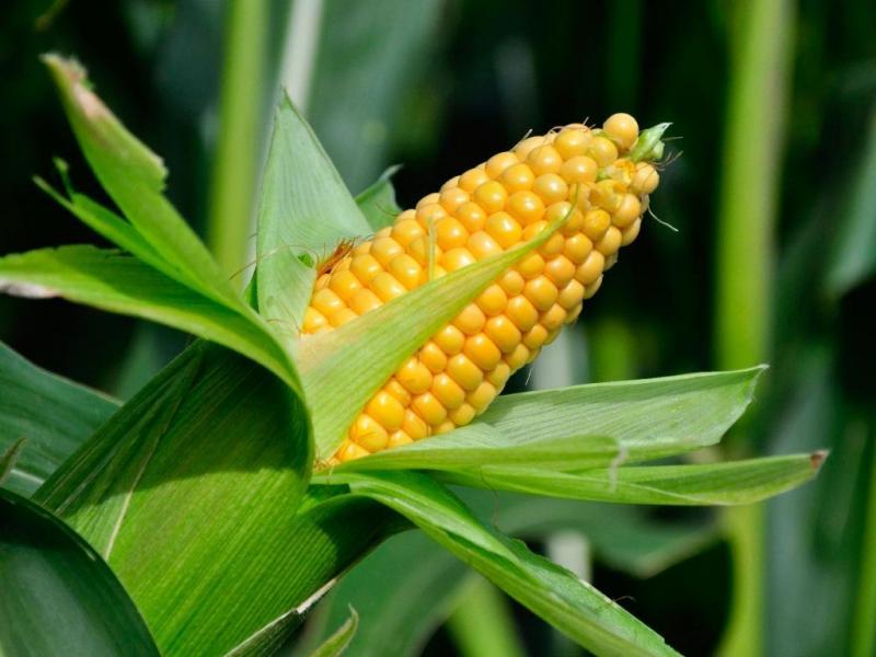 Кукурузные грядки: когда собирать урожай и как определить зрелость початков