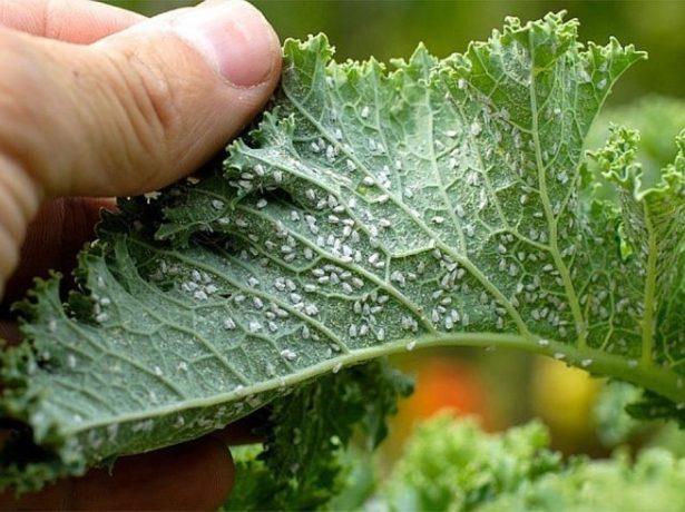 Белокрылка на нижней части листьев