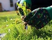 Одуванчик в руке садовода на фоне газона